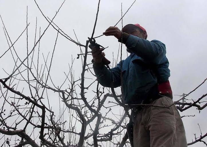 El pr ximo martes comienza a pagarse aporte para la poda a - Poda del cerezo joven ...