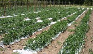 tomate-cultivo